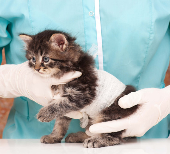 Cute little kitten on survey at the veterinarian close-up